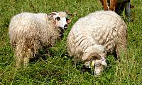 ovce valaška