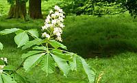 kvet-jirovce
